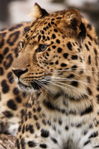 Leopard of Ifa
