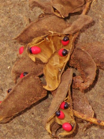 Ifa Seeds Ewe Oogun